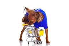 Toy Terrier with shopping cart isolated on white. Funny little d Stock Photos