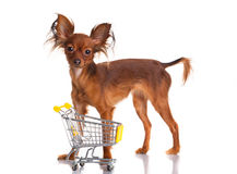 Toy Terrier with shopping cart  on white. Funny little d Royalty Free Stock Images