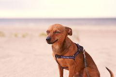 Toy terrier sitting on the beach Stock Images