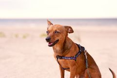 Toy terrier sitting on the beach Royalty Free Stock Photos
