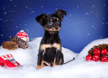 Toy Terrier in the snow and blue background. Christmas decorations Stock Photography