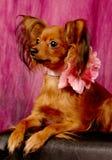 Toy terrier on sofa Stock Photo