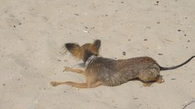 Toy Terrier swims in the sand after swimming. stock video