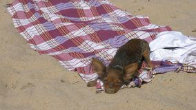 Toy Terrier swims in the sand after swimming. stock video footage