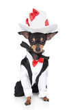 Toy terrier in a tuxedo and hat. Russian sleek-haired toy terrier in a tuxedo and hat on a white background Royalty Free Stock Images
