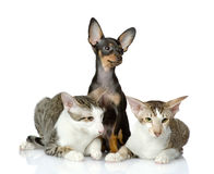 Toy-terrier and two oriental cats together. Royalty Free Stock Image