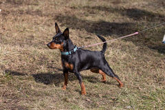 Toy terrier on the walk. Photo of a beautiful animal Stock Image