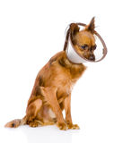 Toy terrier wearing a funnel collar. isolated on white Stock Photos