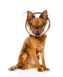 Toy terrier wearing a funnel collar.  on white Royalty Free Stock Photo
