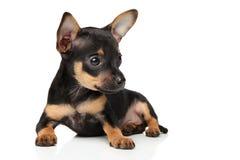 Toy Terrier-Welpe auf weißem Hintergrund Stockfoto