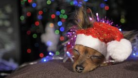 The Toy Terrier is a yellow New Year`s dog. Stock Photography