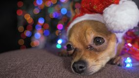 The Toy Terrier is a yellow New Year`s dog. Royalty Free Stock Photos