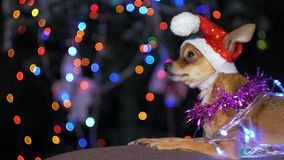 The Toy Terrier is a yellow New Year`s dog. Royalty Free Stock Image