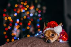 The Toy Terrier is a yellow New Year`s dog. Royalty Free Stock Photo