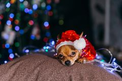 The Toy Terrier is a yellow New Year`s dog. Stock Images