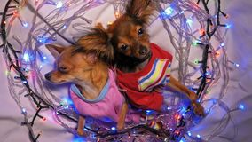 Two Toy Terrier is a yellow New Year`s dog. The Toy Terrier is a yellow New Year`s dog. Two dogs lie ridiculously and fall asleep. They are surrounded by stock footage