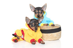 Toy Terriers in clothes Stock Photos