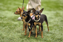 Toy Terriers dogs. On exhibition Stock Photos