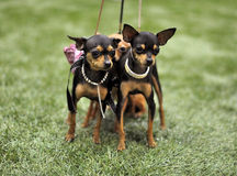 Toy Terriers dogs. Two funny Toy Terriers dogs Royalty Free Stock Photo