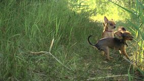 Toy terriers runs over grass in slow motion. Toy terriers runs over grass in slow motion 180fps. Dogs run together for the mistress. In the picture are visible stock footage