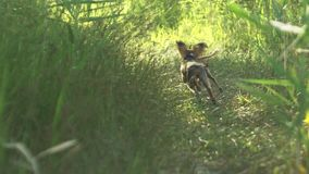 Toy terriers runs over grass in slow motion. Toy terriers runs over grass in slow motion 180fps. Dogs run together for the mistress. In the picture are visible stock video