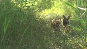 Toy terriers runs over grass in slow motion. Toy terriers runs over grass in slow motion 180fps. Dogs run together for the mistress. In the picture are visible stock video footage
