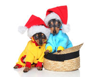 Toy terriers in Xmas hats Stock Photo