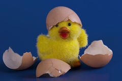 Toy duckling hatched from eggs. Toy yellow duckling hatched from eggs on blue background Royalty Free Stock Photography
