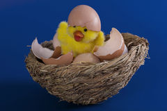 Toy duckling hatched from eggs. Toy yellow duckling hatched from eggs in the nest on blue background Stock Image