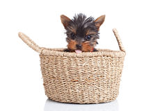 Toy yorkie sitting in a small basket Stock Photography