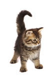 toyger котенка стоковое фото rf