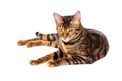 Toyger породы кота Стоковое Фото