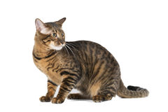 Toyger breed cat. White background in studio Stock Photos