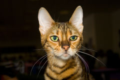 Toyger cat. Toyger (i.e. toy tiger) cat on the World Cat Federation show in Moscow Royalty Free Stock Photo