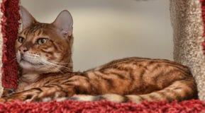 Toyger cat. Beautiful breed toyger cat lying Royalty Free Stock Image