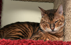 Toyger cat. Beautiful breed toyger cat lying Stock Image