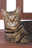 Toyger Cat on bench Royalty Free Stock Photos