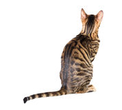 Toyger cat breed sits with his back Stock Photo