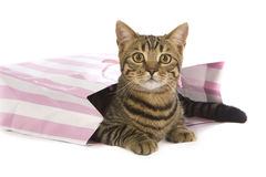 Toyger Cat in party bag stock photo