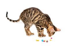 Toyger de la raza del gatito que juega con el caramelo colorido Foto de archivo