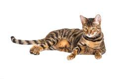 Toyger de race de chat photographie stock