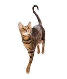 Toyger de race de chat d'isolement sur le fond blanc Photographie stock libre de droits