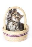 Toyger kitten Royalty Free Stock Photos