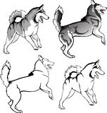 Toying husky. Vector drawing of the dog leaping in options Royalty Free Stock Image