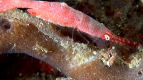 Tozeuma Shrimp / Sawblade Shrimp Lembeh strait Indonesia stock footage