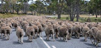 Tráfego dos carneiros em Tasmânia Foto de Stock