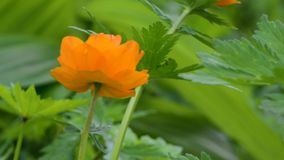 Ranunculaceae, buds on the background of green foliage in summer in the daytime. Tróllius.Ranunculaceae. Bathing suit orange flower on green background in stock footage