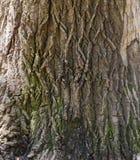 Trä av en ek Royaltyfri Fotografi