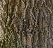 Trä av en ek Royaltyfri Foto