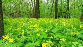 Trä för Celandine på våren arkivfilmer